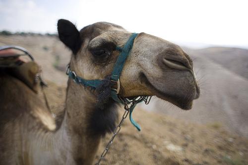 Camels Nose